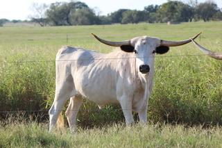 LADY GRAVES RK115: Texas Longhorn