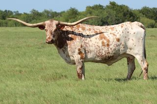 TEMPTING KELLY: Texas Longhorn white with red ears and spots