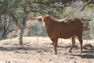 JH JET'S MAZUE'S BLOSSOM: Texas Longhorn