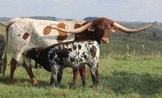 JAM PACKED: Texas Longhorn