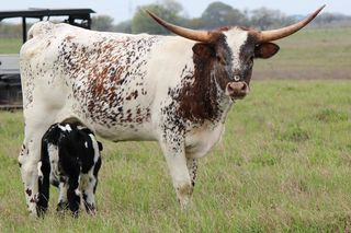 VIOLA FAE SCR: Texas Longhorn WHITE WITH BRINDLE SPECKS AND SPOTS