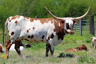 SC DARCI LYNNE: Texas Longhorn white with red spots and specks