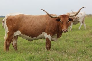 SC KARLIE : Texas Longhorn RED BODY WHITE OVER LINE AND UNDERLINE