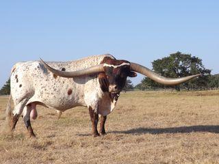 COWBOY TUFF CHEX: Texas Longhorn