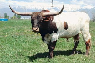 K.C. SHOWDOWN: Texas Longhorn