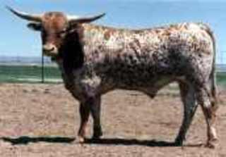 BUCKSHOT: Texas Longhorn