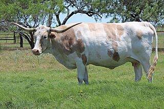 SC SHAYLYN: Texas Longhorn WHITE WITH BRINDLE MARKINGS