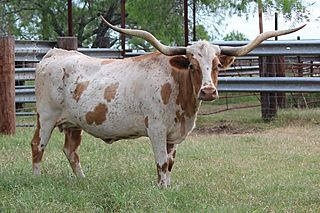 TEMPTED TO BOOGIE: Texas Longhorn WHITE WITH RED SPOTS RED ON FACE AND EARS