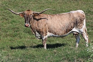TEMPTING SIERRA BELLE: Texas Longhorn BRINDLE, WHITE OVER AND UNDERLINE, WHITE TAIL