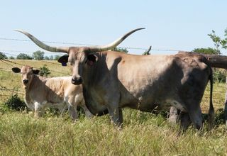 ASOCL FADED DREAMS: Texas Longhorn