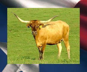 TABA DIEGO: Texas Longhorn