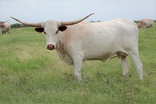 SWING LOW SWEET CHARIOT SCR: Texas Longhorn WHITE, RED EARS, SPECKS ON FRONT LEGS