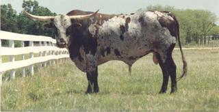 7HD BILLY BOB: Texas Longhorn
