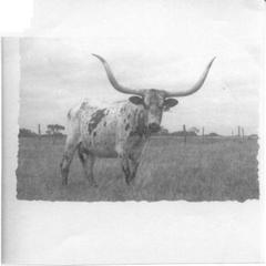 DELTA TINA: Texas Longhorn
