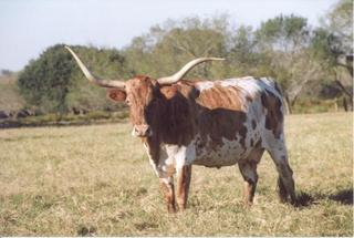GOLDEN ARCHER: Texas Longhorn white with golden brindle