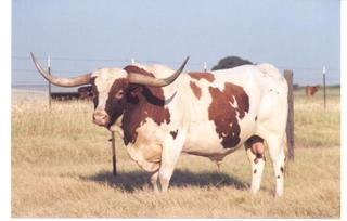 TEMPTATION'S ROWDY: Texas Longhorn paint