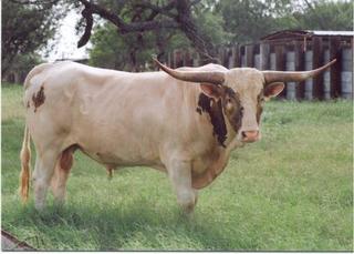 DOUGH BOY: Texas Longhorn