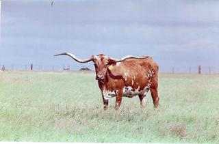LITTLE FANNIE: Texas Longhorn red and white