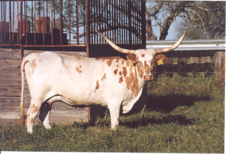 DAY'S GOLD CROWN: Texas Longhorn