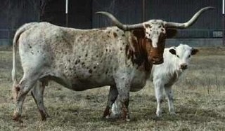 DOHERTY 698: Texas Longhorn