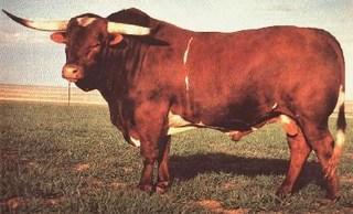 SENATOR 4/86: Texas Longhorn
