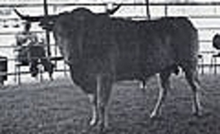 WILMAN 70/8: Texas Longhorn