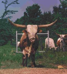DON JUAN OF CHRISTINE: Texas Longhorn