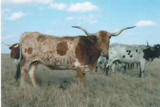 INDIAN GIRL 636: Texas Longhorn