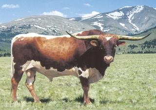 J.R. RENDEZVOUS: Texas Longhorn