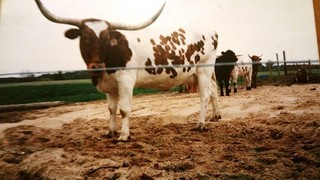 MISS WIDESPREAD: Texas Longhorn