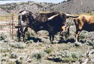 GUNMAN: Texas Longhorn