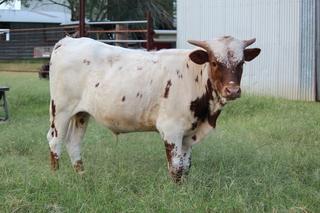 TEXANA TEQUILAS' 15: Texas Longhorn